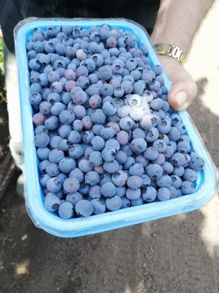 blue berries (480x640)